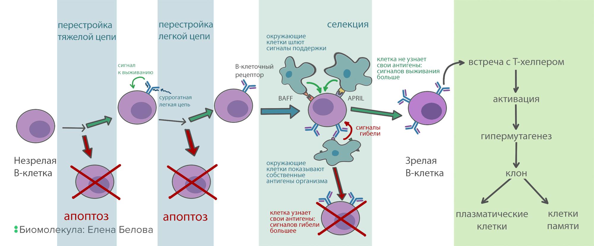 Схема развития В-клеток