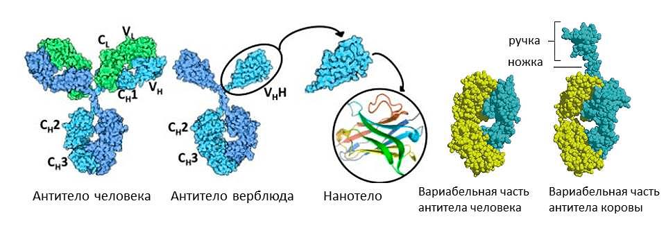 Необычные антитела у животных