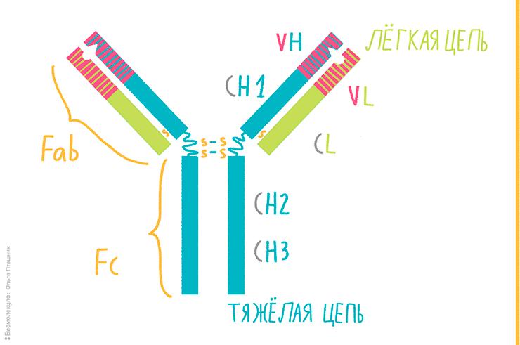 Строение Y-образного антитела