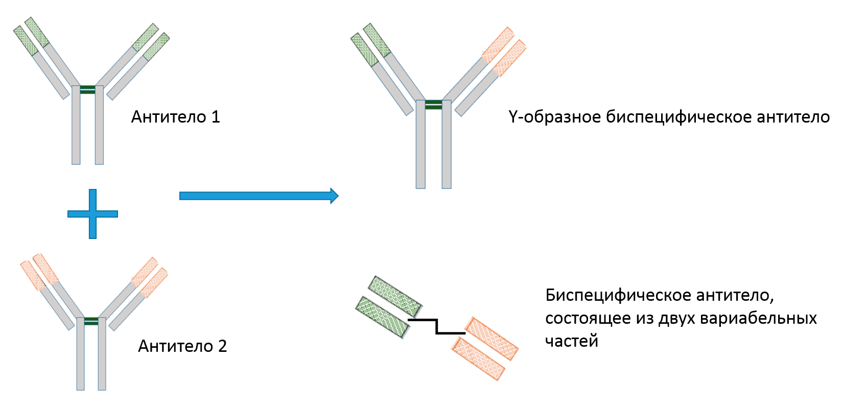 Два типа биспецифических антител