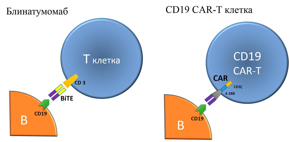 Принцип действия блинатумомаба и CD19 CAR-T-лимфоцитов