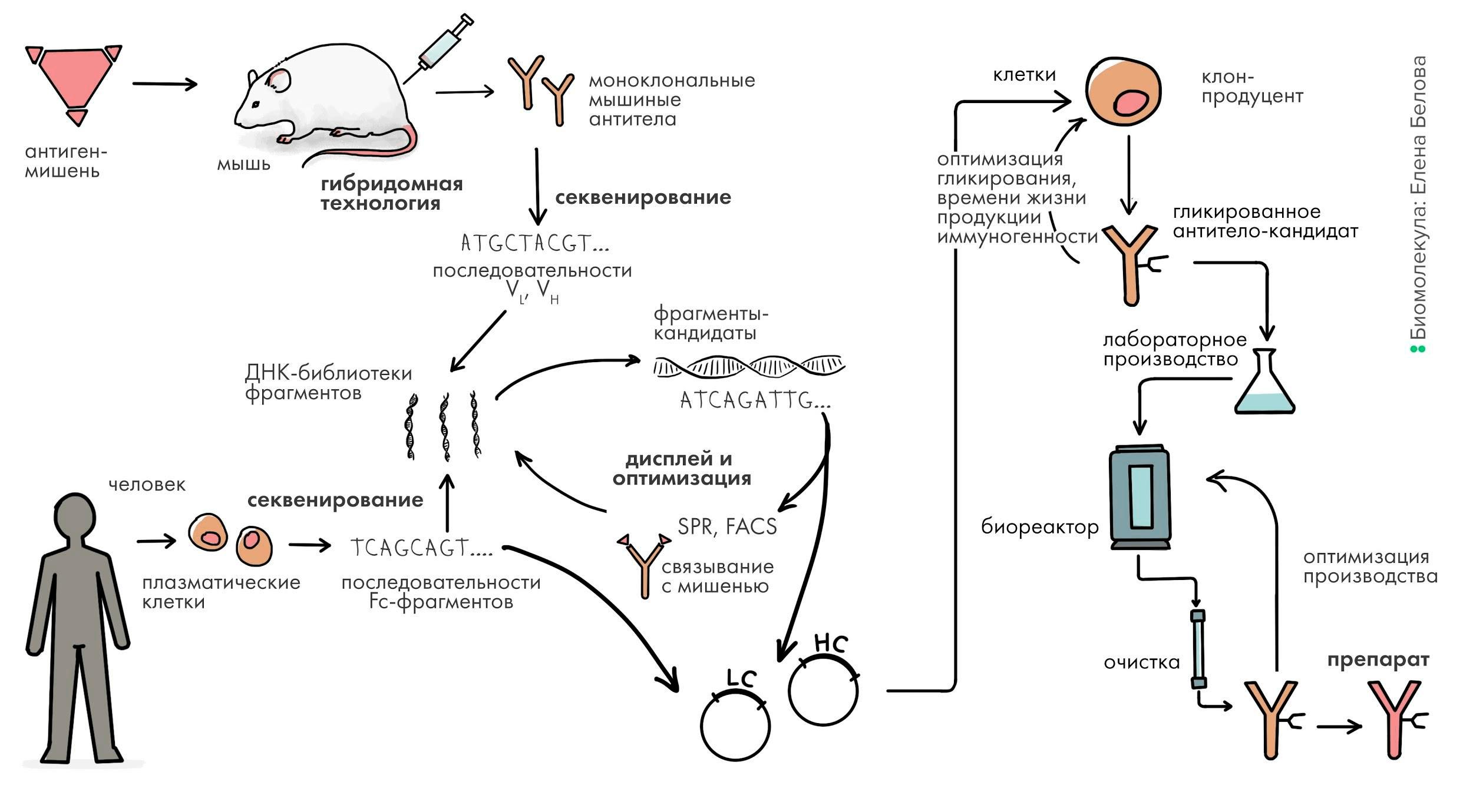 Общая схема разработки антитела