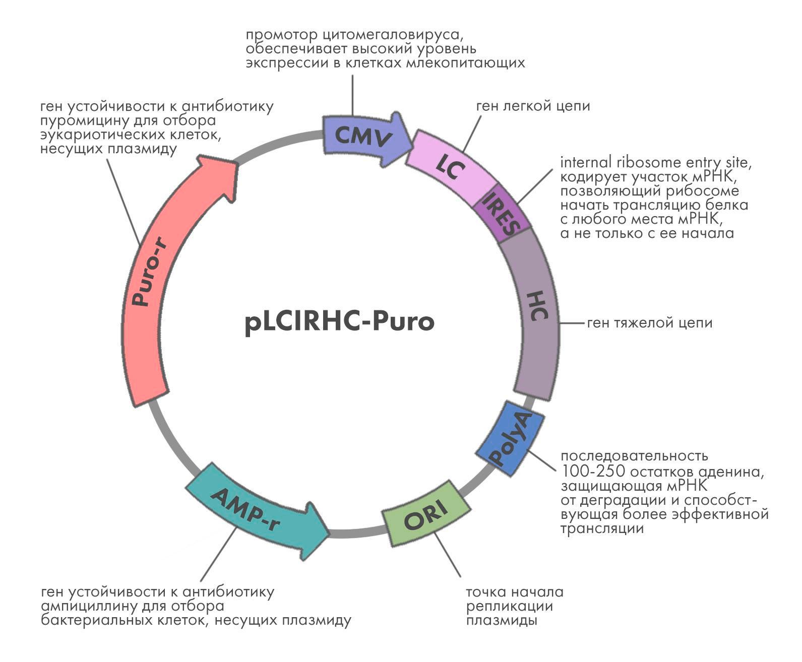 Схема плазмиды для экспрессии антител в клетках млекопитающих