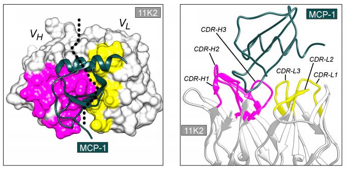 Комплекс антитела 11К2 и антигена MCP-1