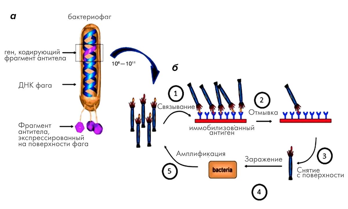 Процесс селекции нужных генотипов в соответствии с аффинностью к антигену