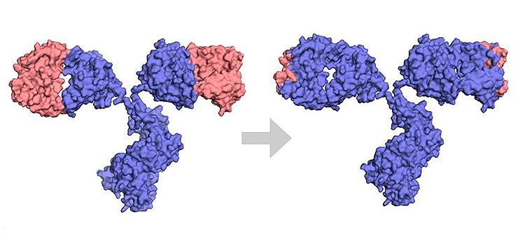 Разница между химерным и гуманизированным антителами