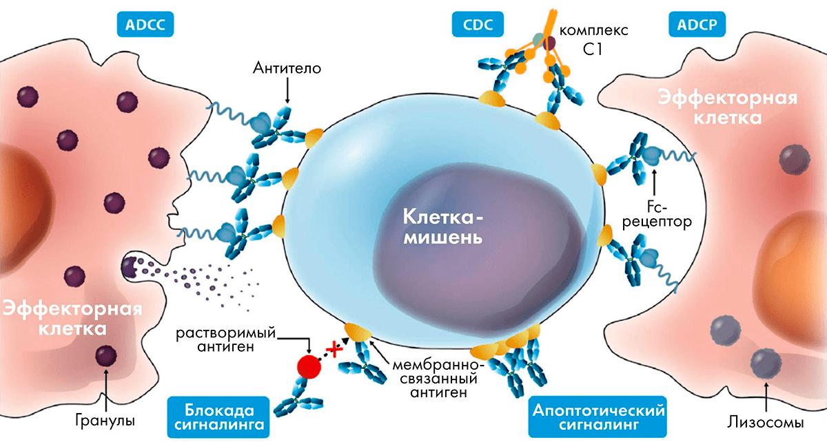 Различные механизмы действия антител