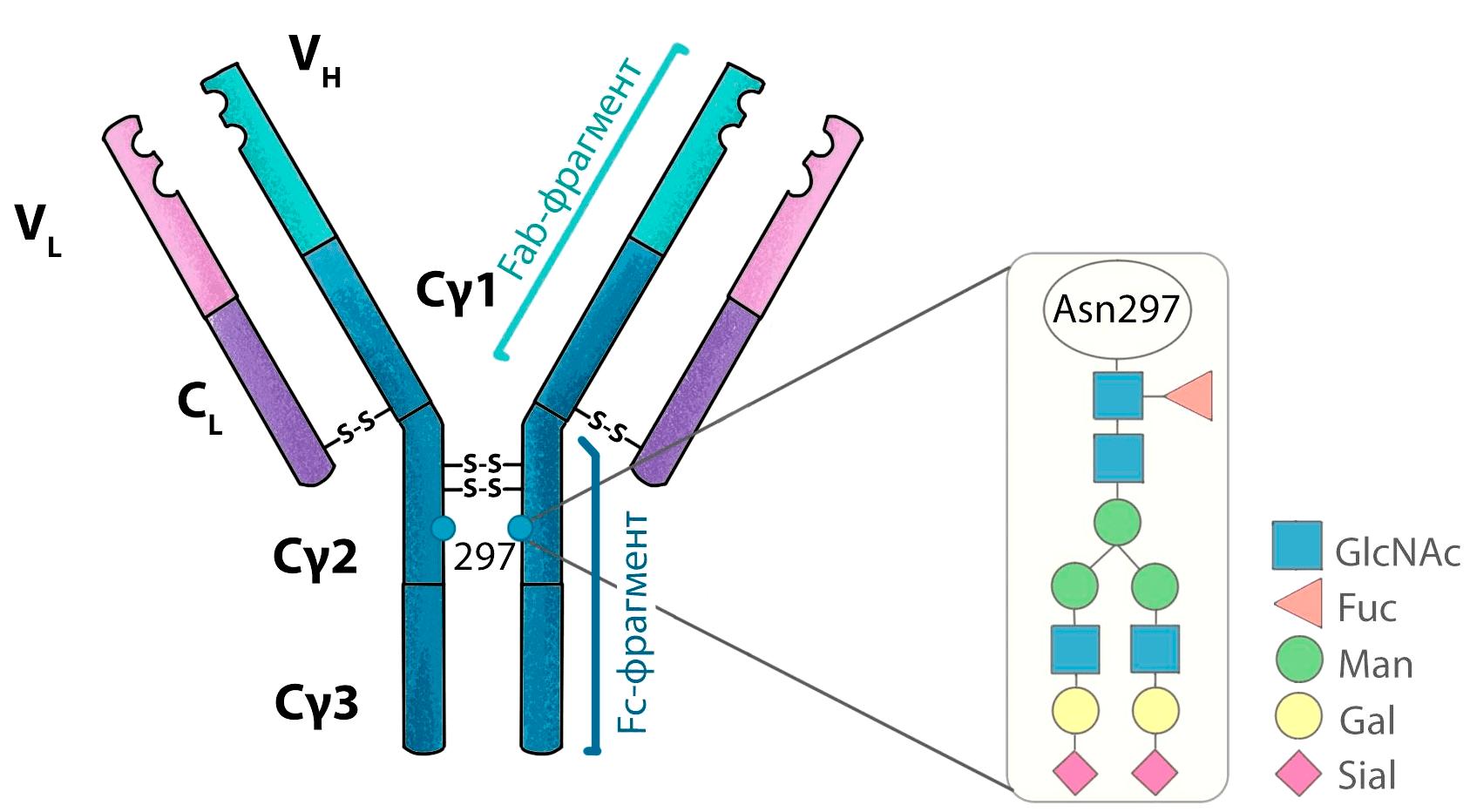 Структура гликана IgG