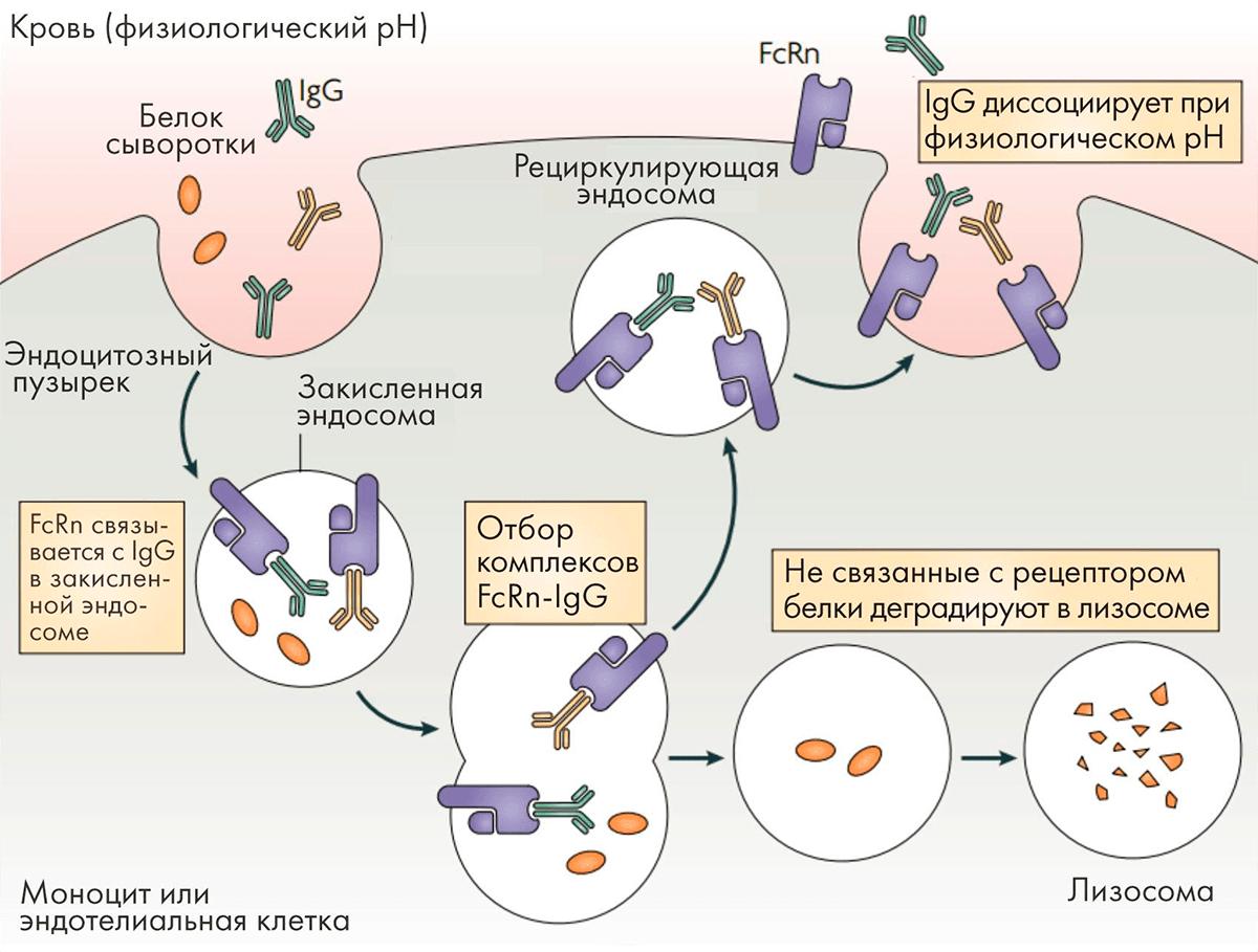 Взаимодействие антител с рецептором FcRn