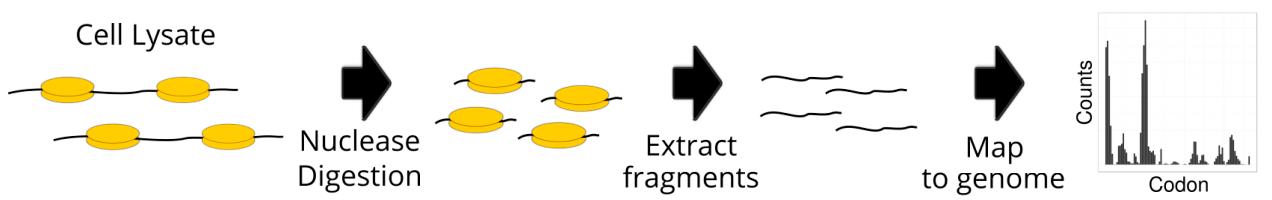 Основные этапы рибосомного профилирования