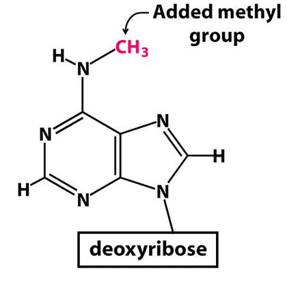 Метилированный аденозин