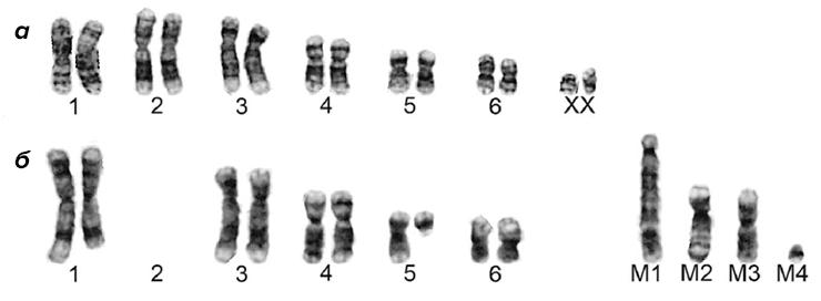 Кариотипы нормальных и раковых клеток дьявола