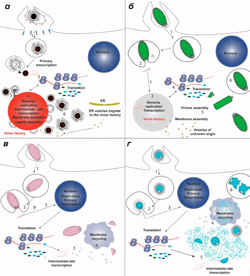 Схемы жизненных циклов некоторых гигантских вирусов