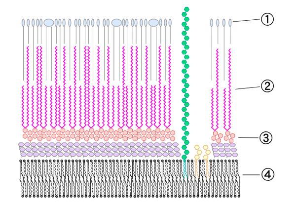 Клеточная стенка микобактерии