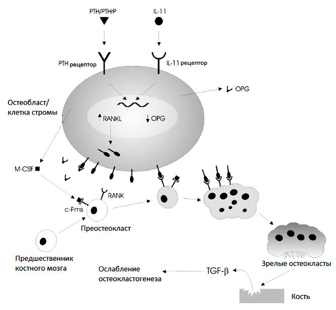Модель нормального костного ремоделирования
