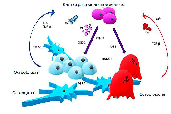 Порочный цикл костного метастаза РМЖ