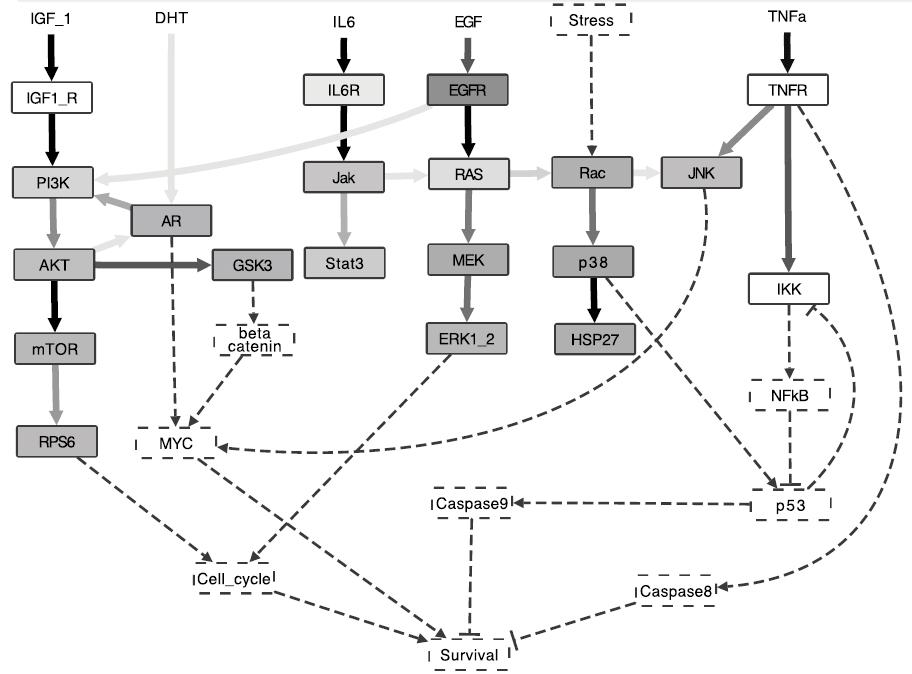 Оптимизированная модель основных сигнальных путей при раке простаты