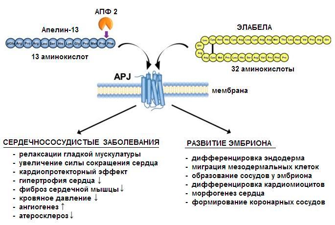 Некоторые функции апелинергической системы