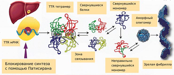 Синтез мутантного варианта транстиретина