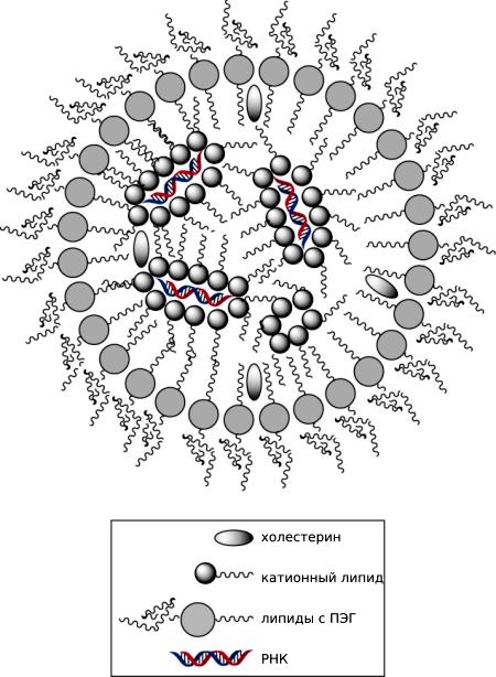 Строение липидных наночастиц