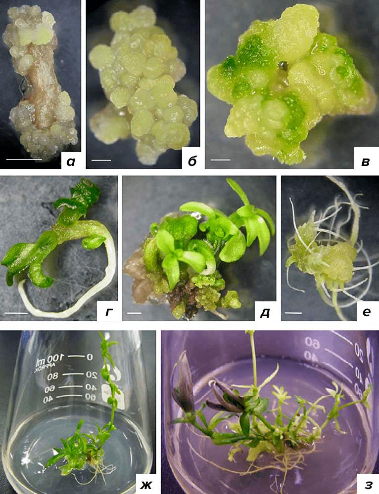 Образование каллуса и регенерация растения сверции