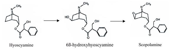 Превращение гиосциамина в скополамин