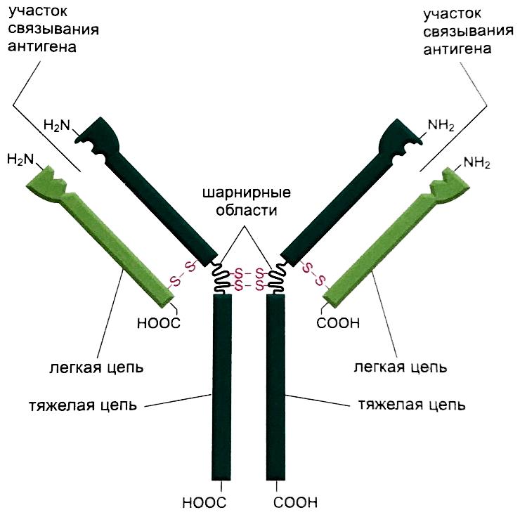 Строение антитела