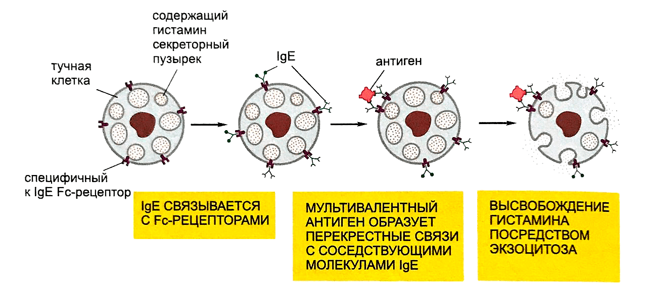 Механизм возникновения аллергической реакции