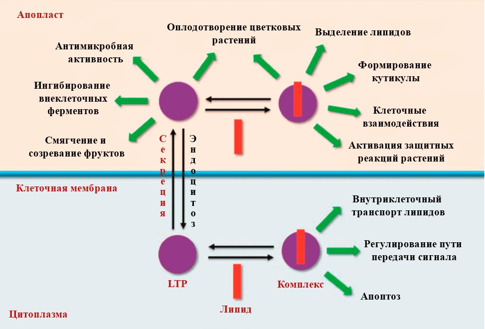 Функции растительных липид-транспортирующих белков