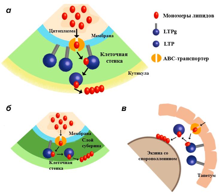 Предполагаемый механизм переноса липидов через мембрану
