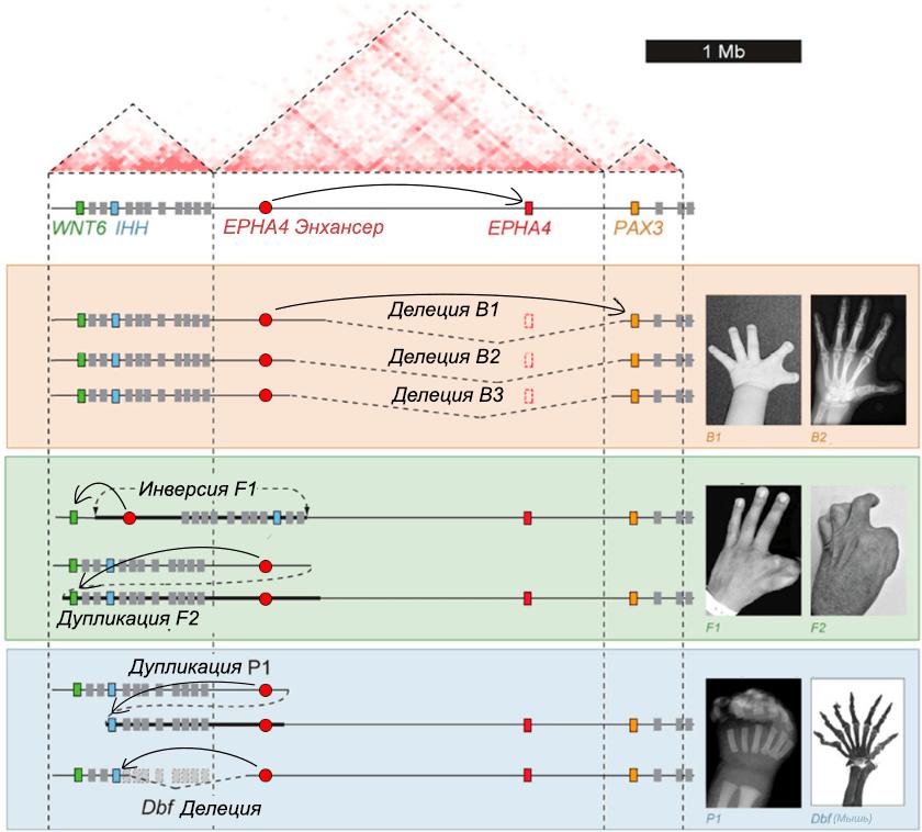Схема исследованных аберраций в локусе Wnt6–Ihh–Epha4–Pax3