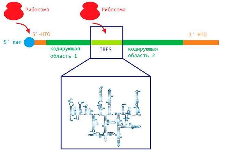 Способы образования белков