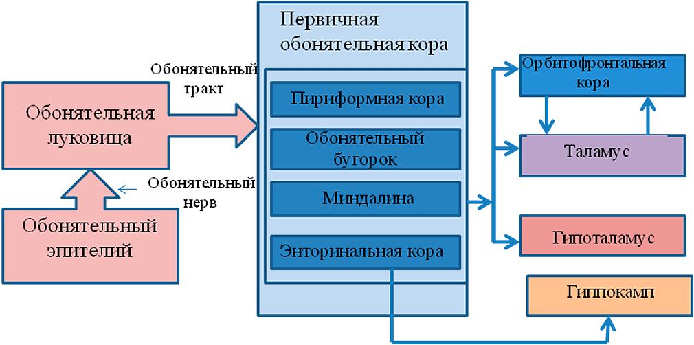 Схема строения обонятельной системы человека