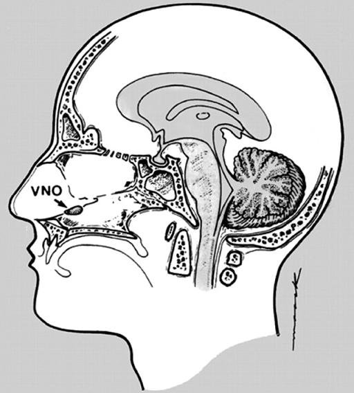 Анатомическое расположение вомеронозального органа