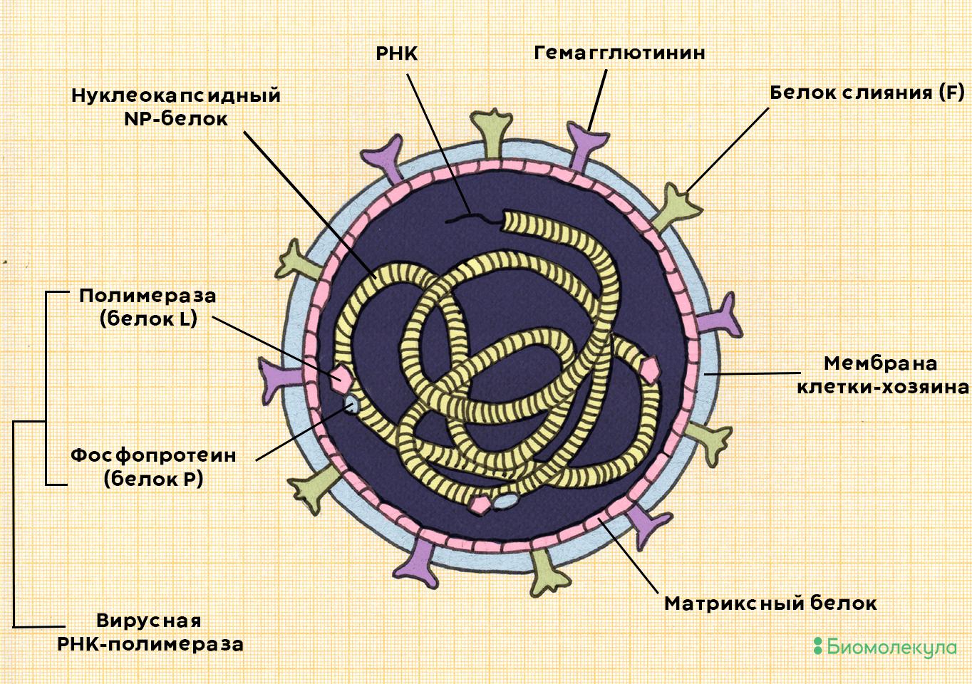 Вирус кори Measles morbillivirus
