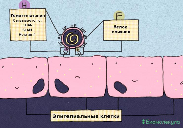 Вирус кори и клеточные рецепторы