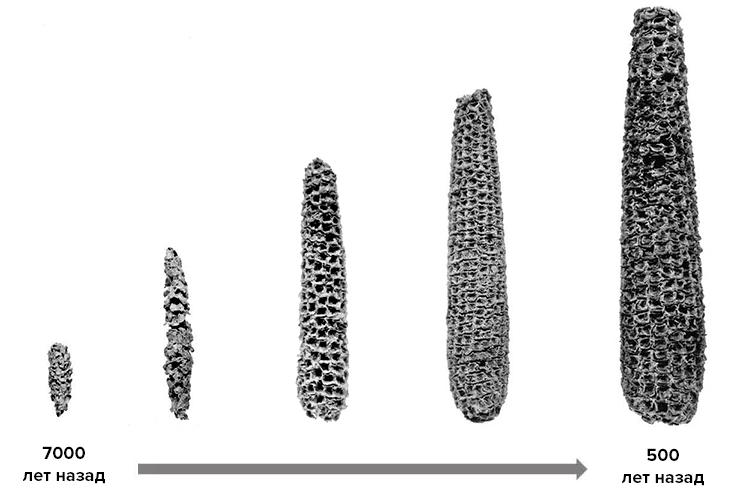 Эволюция кукурузы в результате селекции