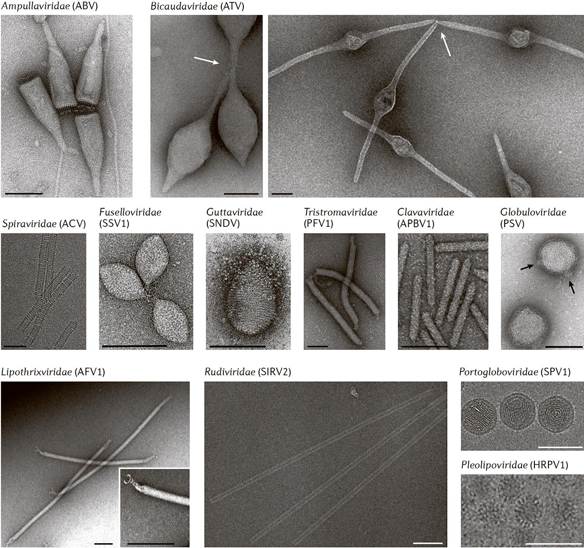 Морфология вирионов вирусов, специфичных для архей