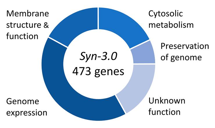 Функции генов M. mycoides