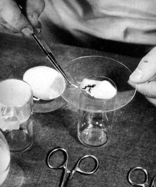 Получение экстракта и эксплантатов из тканей эмбрионов цыпленка