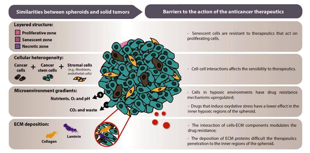 Сходство трехмерных сфероидов с сóлидными опухолями