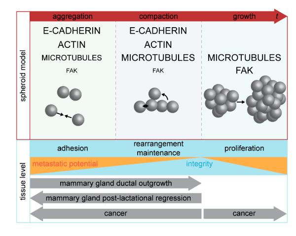 Модель, отражающая фазы агрегации компонентов в сфероиде