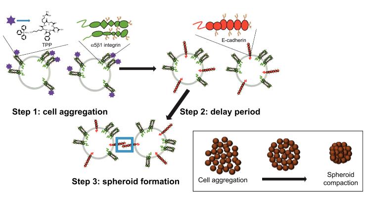 Стадии образования 3D-сфероидов биохимическим методом