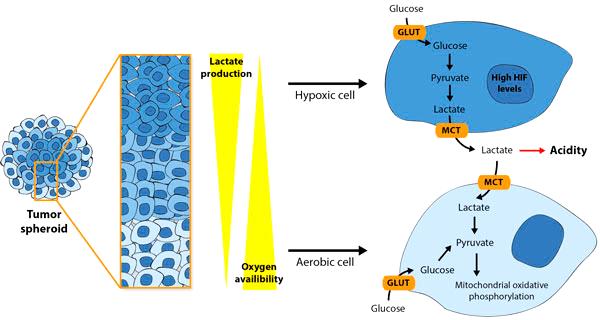 Распределение кислорода в опухолевых сфероидах