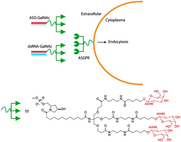 Конъюгация GalNAc c двойной цепочкой РНК