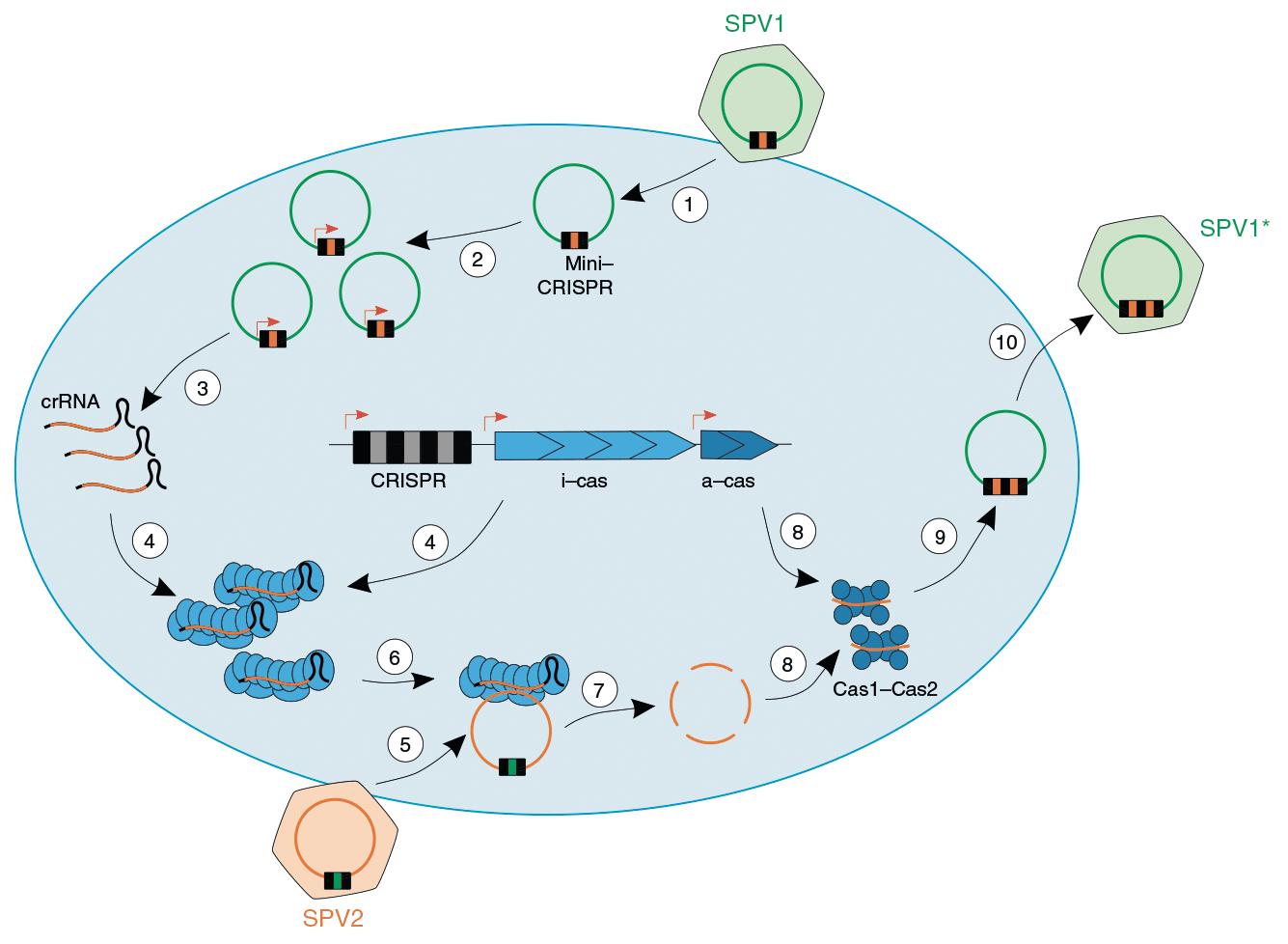 Вероятный механизм «войны» двух близкородственных вирусов
