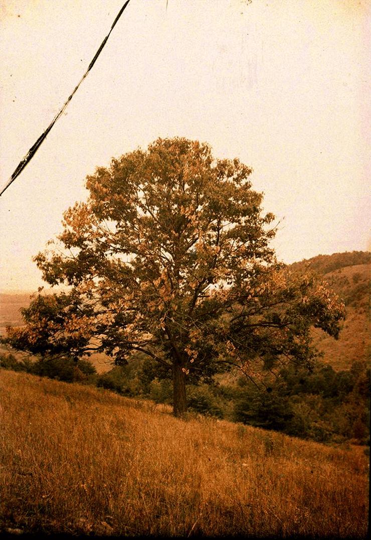 Погибающее дерево американского каштана