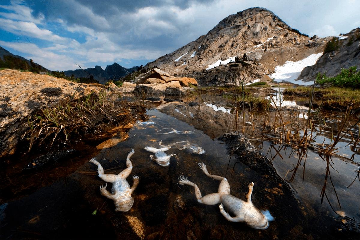 Лягушки, погибшие из-за хитридиомикоза