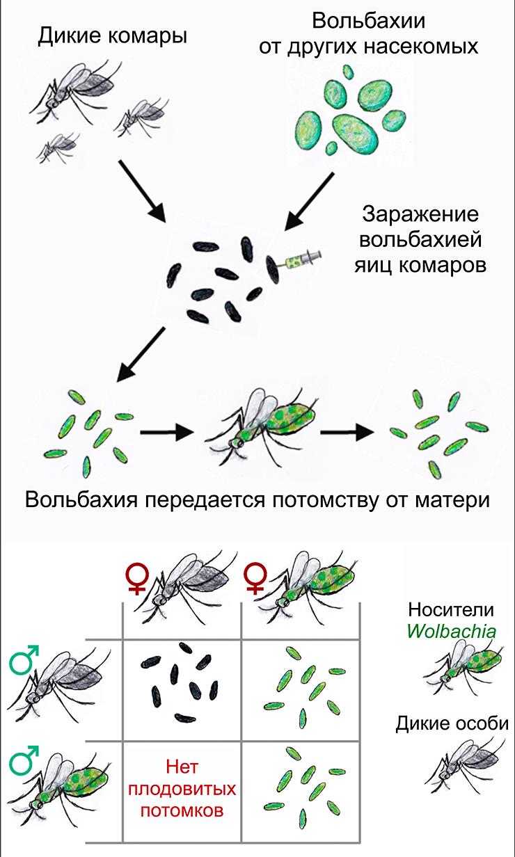 Метод «несовместимых» насекомых