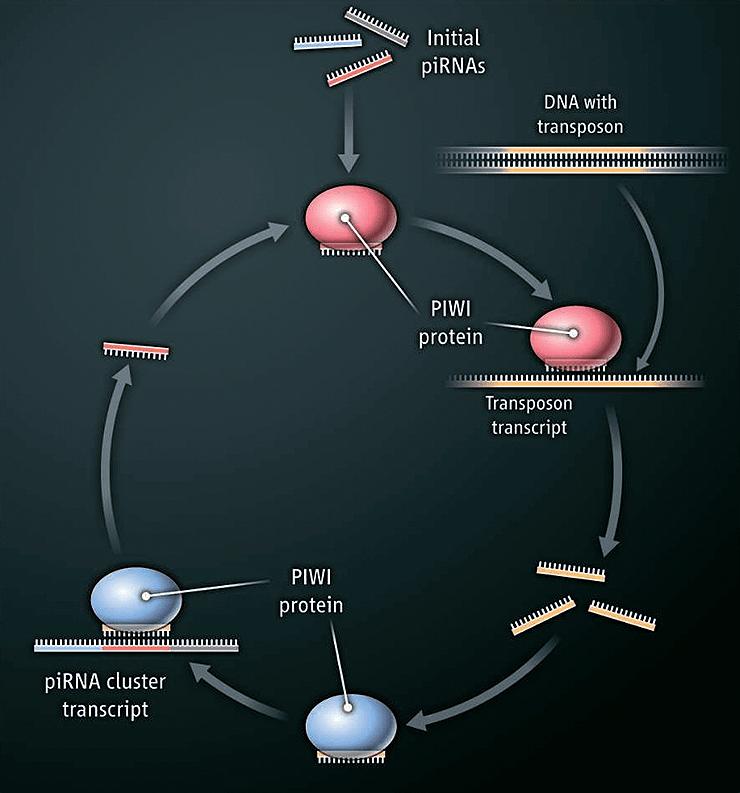 Цикл «пинг-понг» в биогенезе piРНК